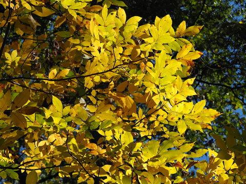 yellow leaves fall foliage