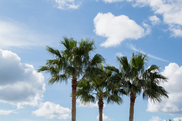 3 Coconut palm trees against light blue cloudy sky