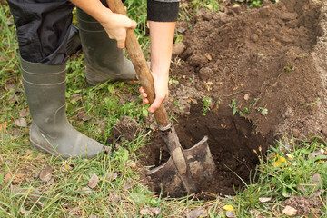 Autumn land preparation for planting of plants/ gardener with a spade in his hand mixing fertilizer in the hole for seedlings