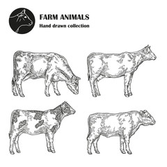 Hand drawn milk cow set isolated on white background. Farm animal vintage. Vector illustration engraved