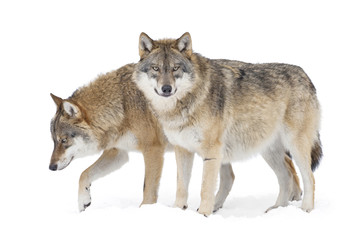 Foto auf Leinwand Wolf Two Gray wolves isolated on white