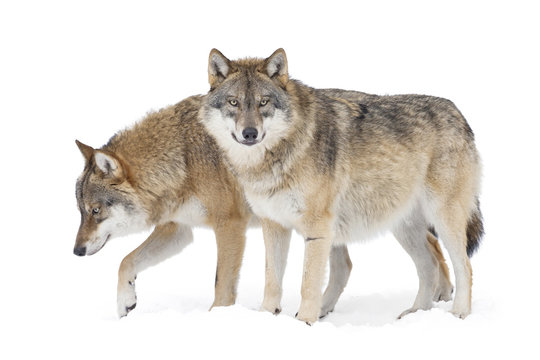 Two Gray wolves isolated on white