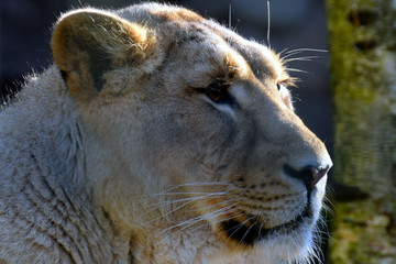 Female Asiatic lion (Panthera leo persica), also known as the Indian lion and Persian lion. Close up head shot of endangered big cat.