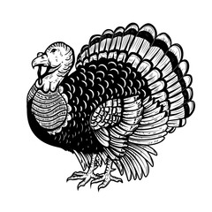 Turkey illustration isolated on white background. Thanksgiving theme.