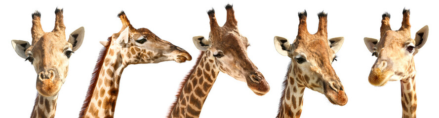 Collage of cute giraffes on white background