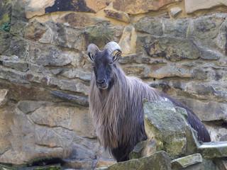 The Himalayan Tahr, Hemitragus jemlahicus, is a mountain goat