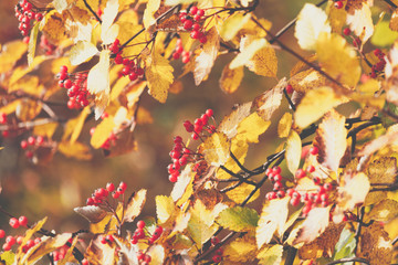 Season of beautiful autumn leaves and red small fruits. Nature background.