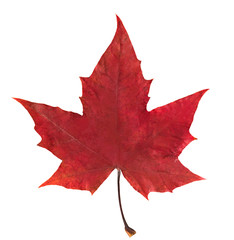 red maple leaf on white isolated background