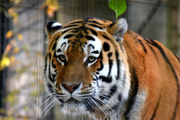 Amur tiger (Panthera tigris altaica), also known as Siberian tiger.