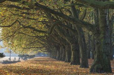 autumn alley of plane trees in park in Szczecin, Poland