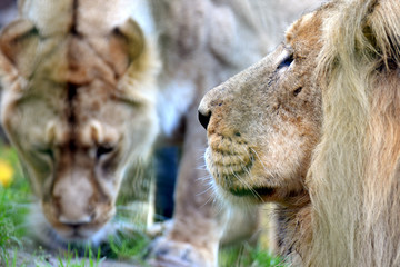 Asiatic lions (Panthera leo persica) couple, also known as the Indian lion and Persian lion. Male on foreground, female on background.