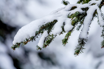 Snow Covered Evergreen Tree Branch at Snoqualme Pass Washington