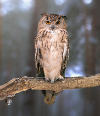 Eurasian eagle-owl on natural background