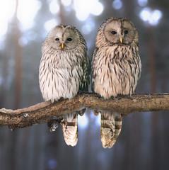 Pair of Ural owls (Strix uralensis)