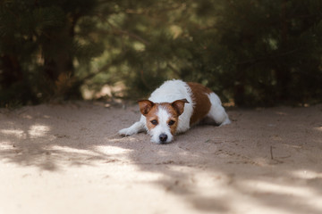 Dog Jack Russell Terrier lies on sand