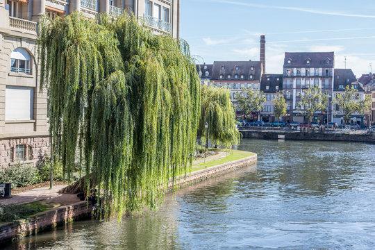 Trauerweide an der Ill in Strasbourg