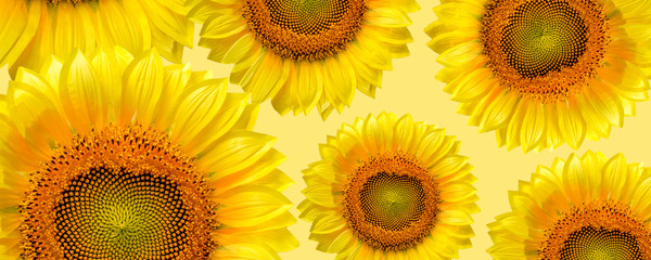 Fototapete - banner panorama pattern flower sunflower