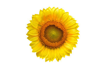 Fototapete - Sunflower with  isolated on white background.
