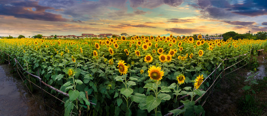 Fototapete - sunflowers on a background sunset