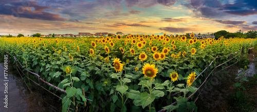 Wall mural sunflowers on a background sunset
