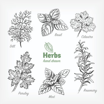 Culinary herbs vector hand drawn illustration