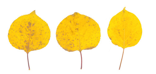 isolated fall leaves on white background. natural scanned aspen yellow leaves set