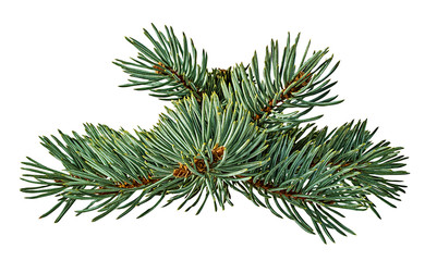 Green fir branch on white background with clipping pass