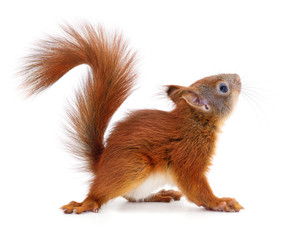 Photo sur Aluminium Squirrel Eurasian red squirrel.