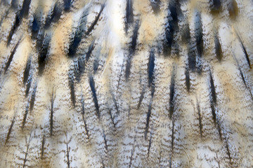 Owl feather texture