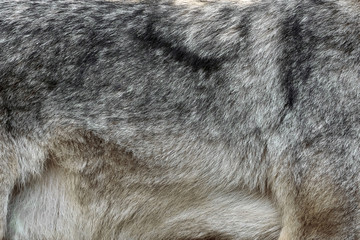 Fototapete - Real texture of silver wolf fur