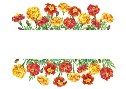 Banner with a flowers Tagetes patula, the French marigold (Tagetes erecta, Mexican marigold). Red, yellow marigold. Watercolor hand drawn painting illustration isolated on white background.
