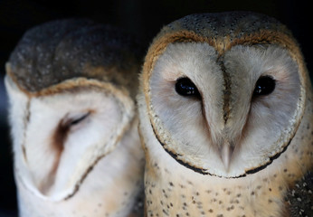 A pair of barn owls looks on at a rehabilitation and conservation centre at the Spier wine estate near Cape Town
