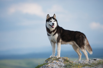 Black and white Siberian husky standing on a mountain in the background of mountains and forests. Dog on the background of a natural landscape. Blue eyes.