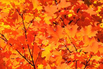 Sugar Maple Fall Foliage Background