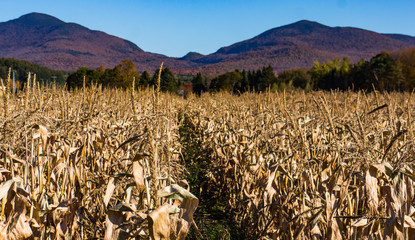 corn stalks ready to harvest in autumn with mountains  in background in fall autumn colors