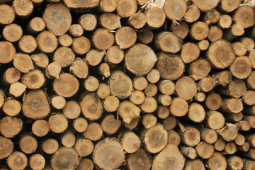 Chopped fuel wood in a forest
