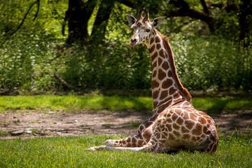 Cute giraffee