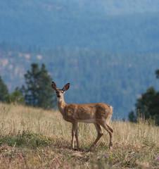 Whitetail deer (odocoilus virginianus) on formland in Washington