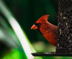 Red Bird at Feeder