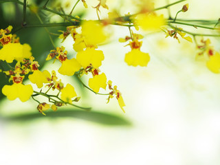 Wall Mural - Yellow oncidium orchid in the garden