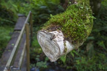 mit Moos bewachsener Ast in einem Farnwald, Irland
