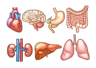 Human organs in cartoon style. Biology illustrations
