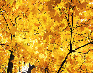 beautiful maple trees in Golden autumn bright leaves against the sky