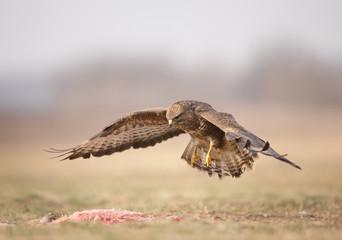 Bird of prey buzzard