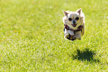 Small young cute chihuahua dog is running