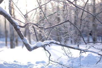 Winter nature, close-up, background, branches, hoarfrost