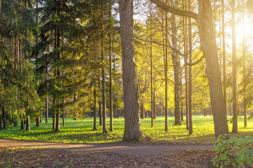 Coniferous forest at sunset in autumn