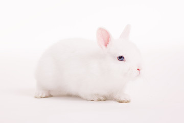 White rabbit in  a studio on a white backgroud
