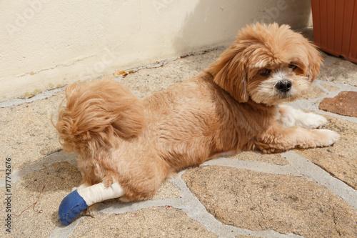 Bandage sur patte arri re de chien photo libre de droits - Image patte de chien gratuite ...