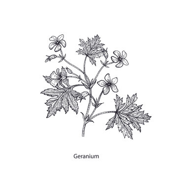 Medical flower geranium.